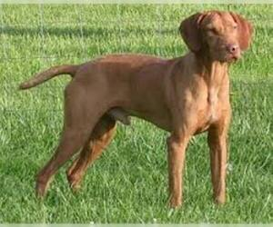 Small Photo #4 Vizsla Dog Breed