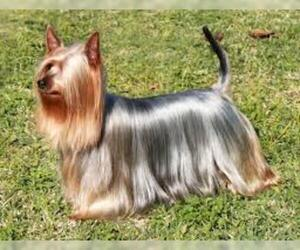 Small #4 Breed Silky Terrier image