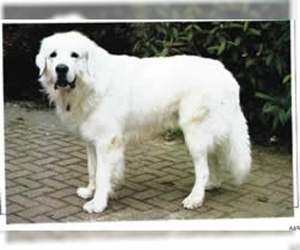 Image of Owczarek Podhalanski breed