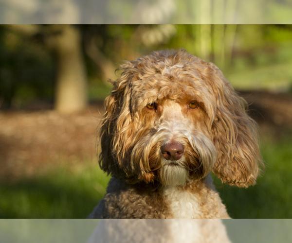 Medium Photo #5 Australian Labradoodle Dog Breed