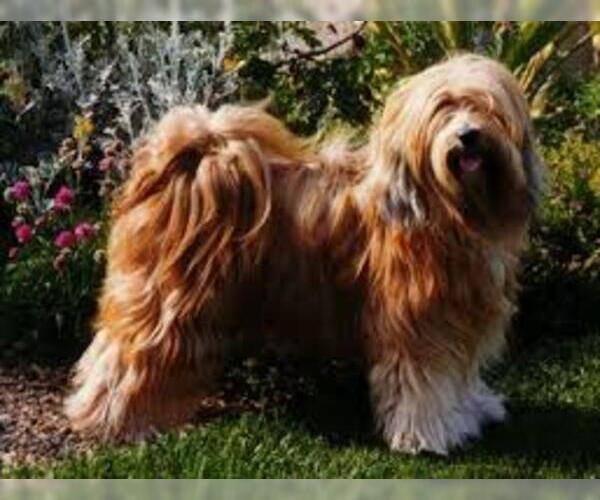 Medium Photo #3 Tibetan Terrier Dog Breed