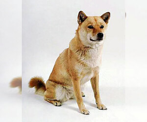 Small Photo #2 Ainu Dog Dog Breed