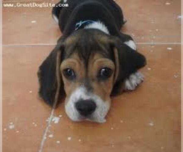 Medium Photo #3 Beacol Dog Breed