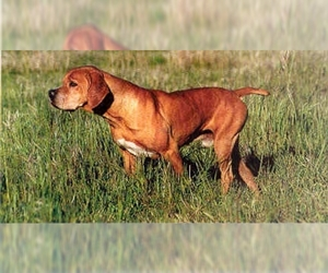 Image of Portuguese Pointer breed