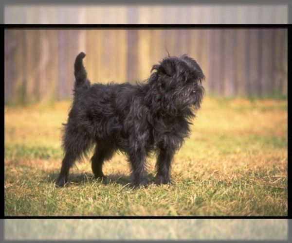 Medium Photo #2 Affenpinscher Dog Breed