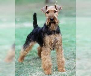 Small #2 Breed Welsh Terrier image