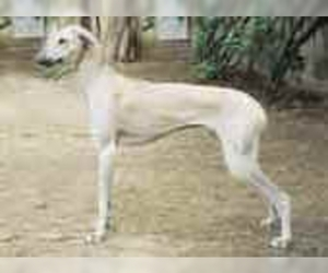 Chippiparai Breed Information and Pictures on PuppyFinder com