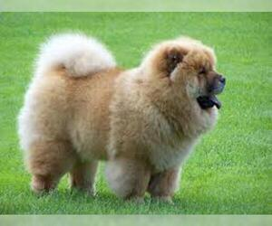 Small #7 Breed Chow Chow image