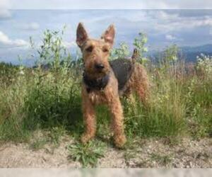 Small #6 Breed Welsh Terrier image