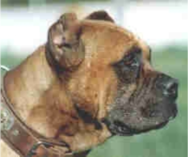 Image (Spanish Bulldog (Alano Español))