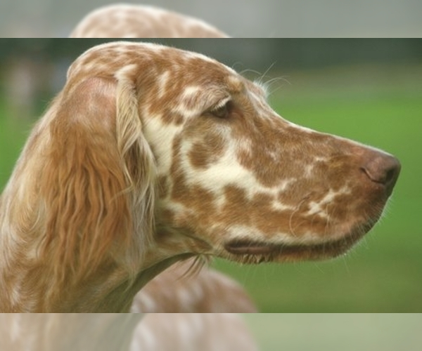 Image of English Setter Breed