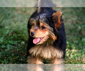 Small #10 Breed Chorkie image