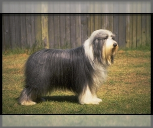 Samll image of Bearded Collie