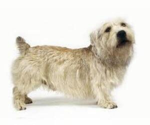 Small #5 Breed Glen of Imaal Terrier image