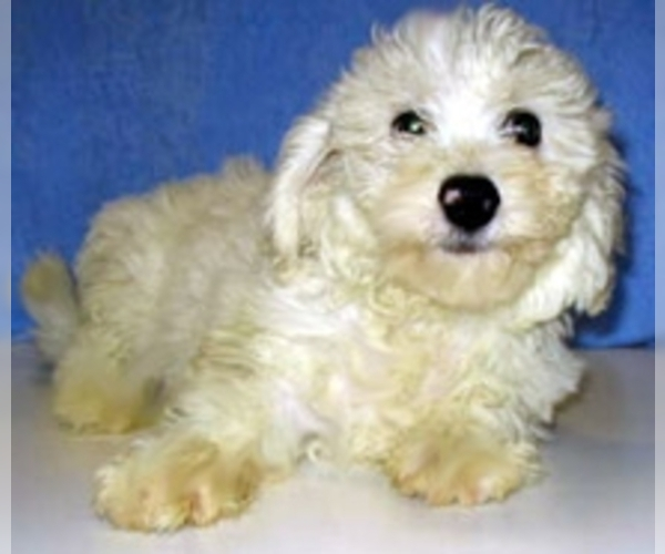 Image of Poochon Breed