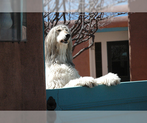 Small #10 Breed Afghan Hound image