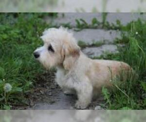 Small Photo #4 Dandie Dinmont Terrier Dog Breed