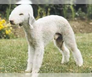Small Photo #2 Bedlington Terrier Dog Breed