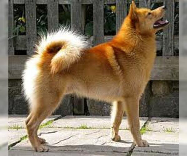 Medium Photo #3 Finnish Spitz Dog Breed