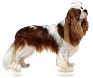 Small #1 Breed Cavalier King Charles Spaniel image