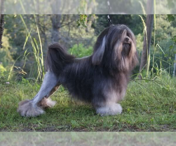 Image of Lowchen Breed
