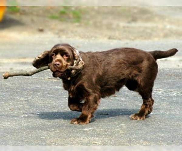 Image of Sussex Spaniel Breed