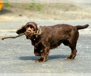 Samll image of Sussex Spaniel