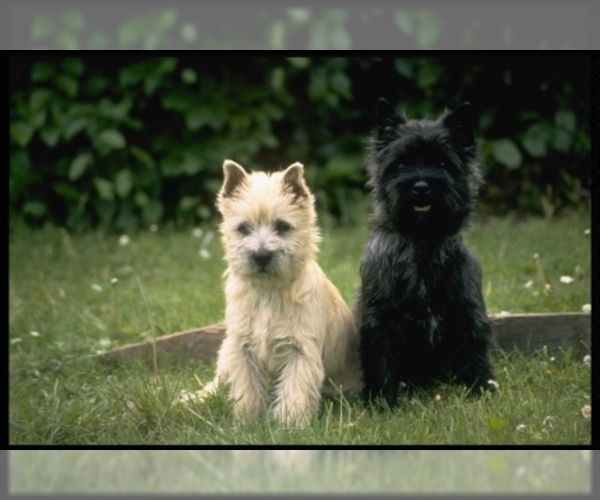 Image of Cairn Terrier Breed