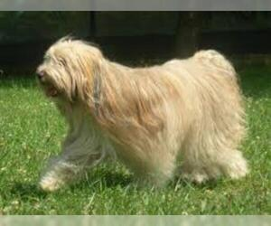 Small #5 Breed Tibetan Terrier image