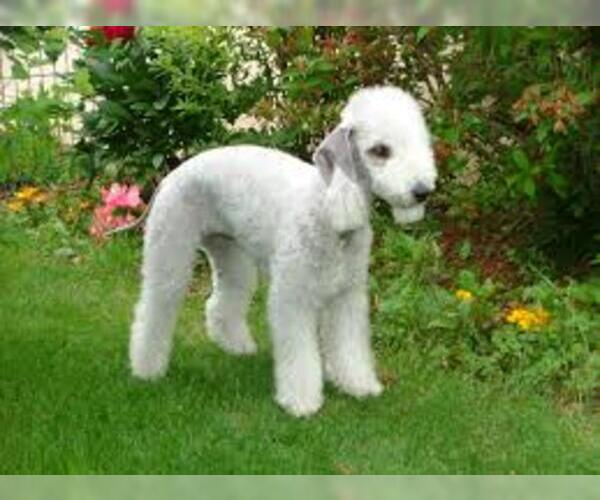 Medium Photo #3 Bedlington Terrier Dog Breed