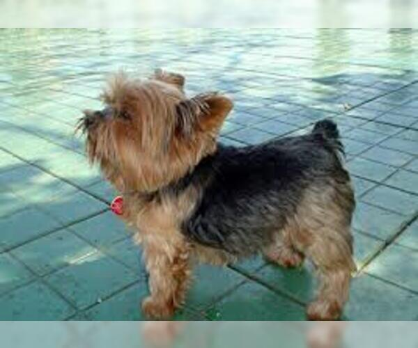 Full screen Photo #2 Yorkshire Terrier Dog Breed
