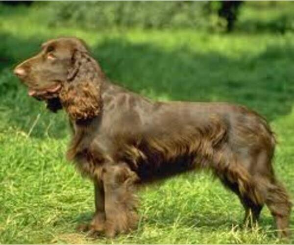 Medium Photo #2 Sussex Spaniel Dog Breed