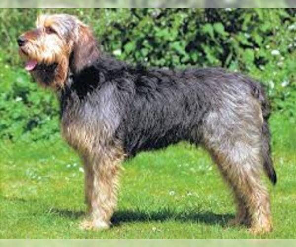 Image of Otterhound Breed