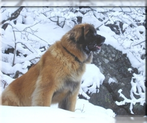 Image of Leonberger breed