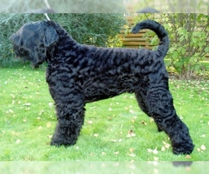 Image of Black Russian Terrier breed