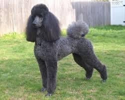 Medium Photo #4 Poodle (Standard) Dog Breed