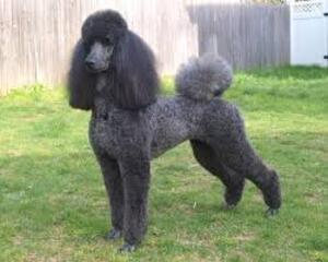 Small #3 Breed Poodle (Standard) image