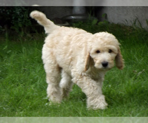 Small #8 Breed Labradoodle image