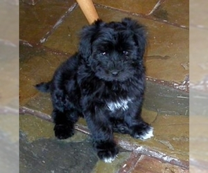 Image of breed Maltipoo