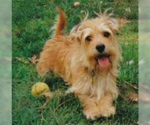 Small #4 Breed Norfolk Terrier image