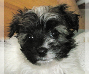 Small #8 Breed Havanese image