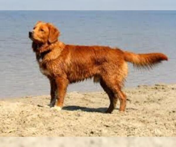 Medium Photo #4 Nova Scotia Duck Tolling Retriever Dog Breed