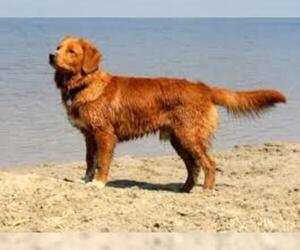 Small #3 Breed Nova Scotia Duck Tolling Retriever image