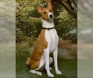 Small Photo #4 Basenji Dog Breed