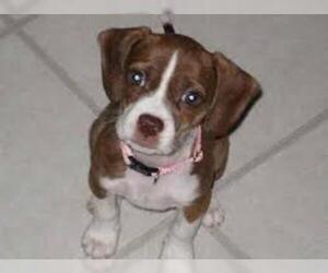 Small #4 Breed Boglen Terrier image