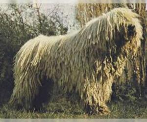 Small Photo #7 Komondor Dog Breed