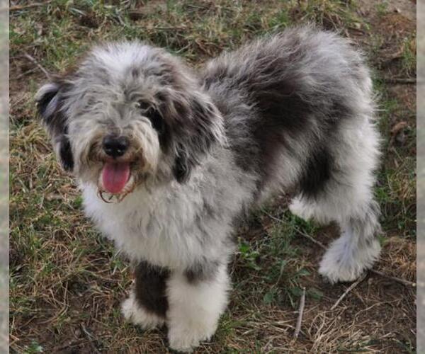 Medium Photo #6 Aussiedoodle Dog Breed