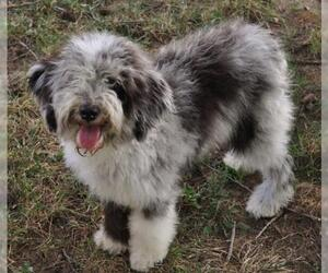 Small Photo #6 Aussiedoodle Dog Breed