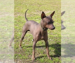 Image of American Hairless Terrier Breed