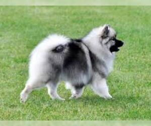 Small #4 Breed Keeshond image
